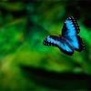 Blue morpho butterfly fly